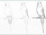 Научиться рисовать попугая не очень сложно, главное поэтапно следовать за обрзцом и у Вас все получится.